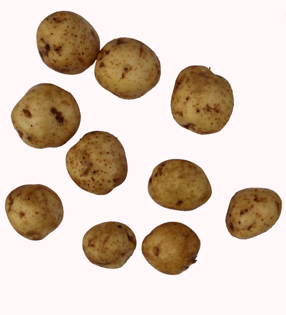 jogeva kollane kartulisort kartul