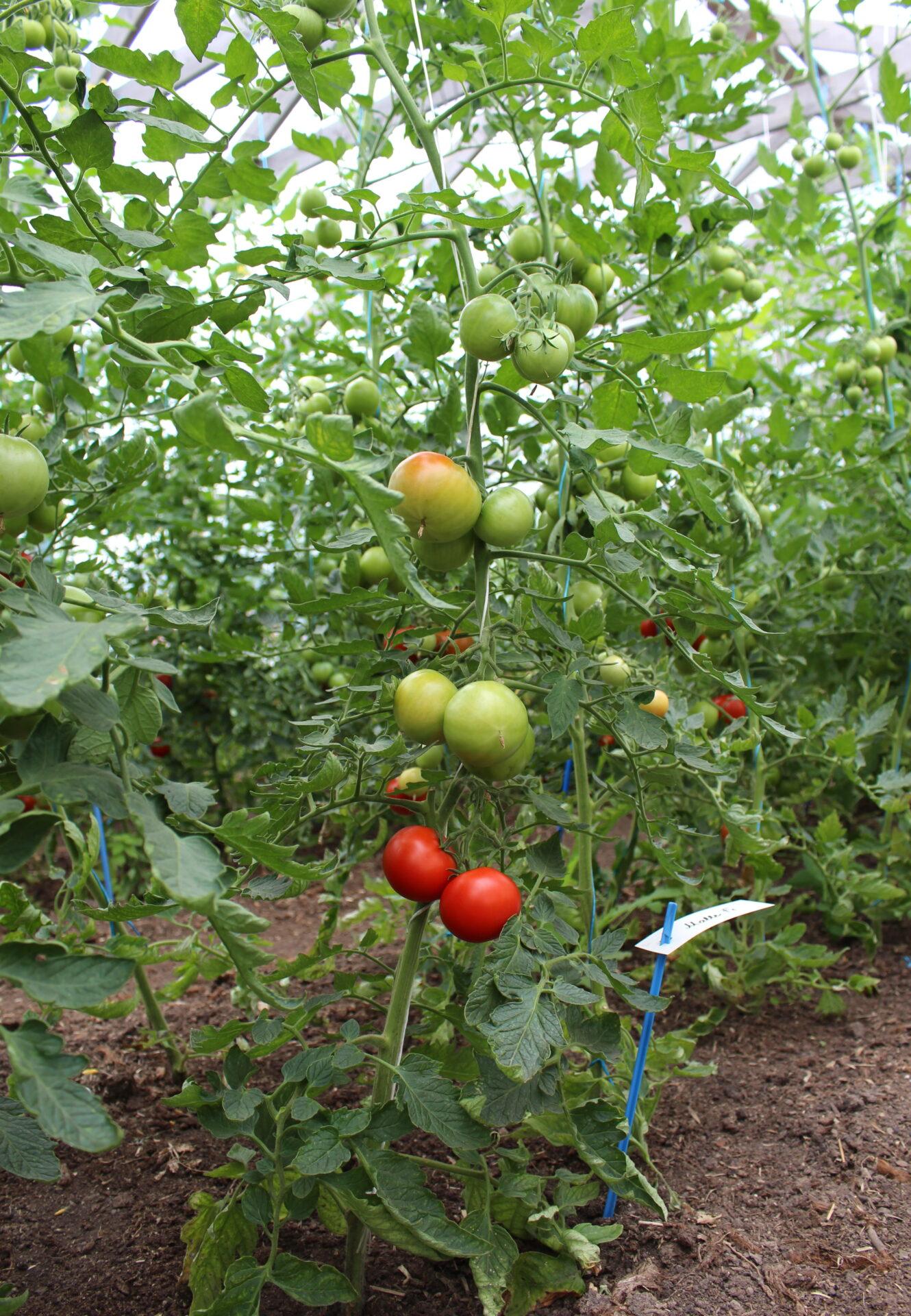Malle tomat kõrge