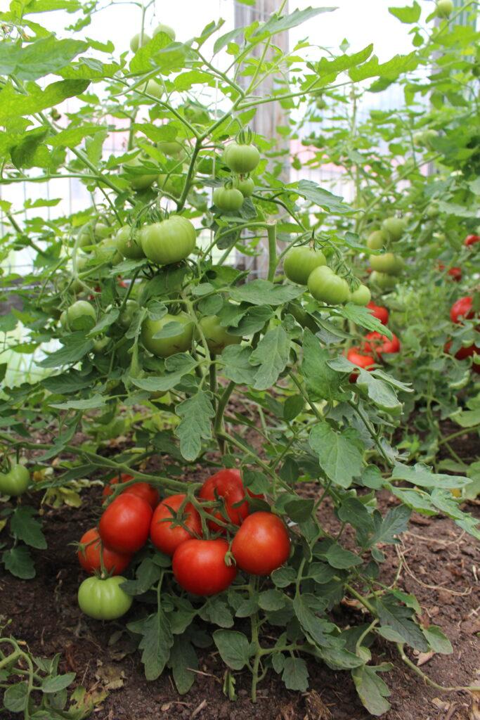 Mato tomat madal varajane