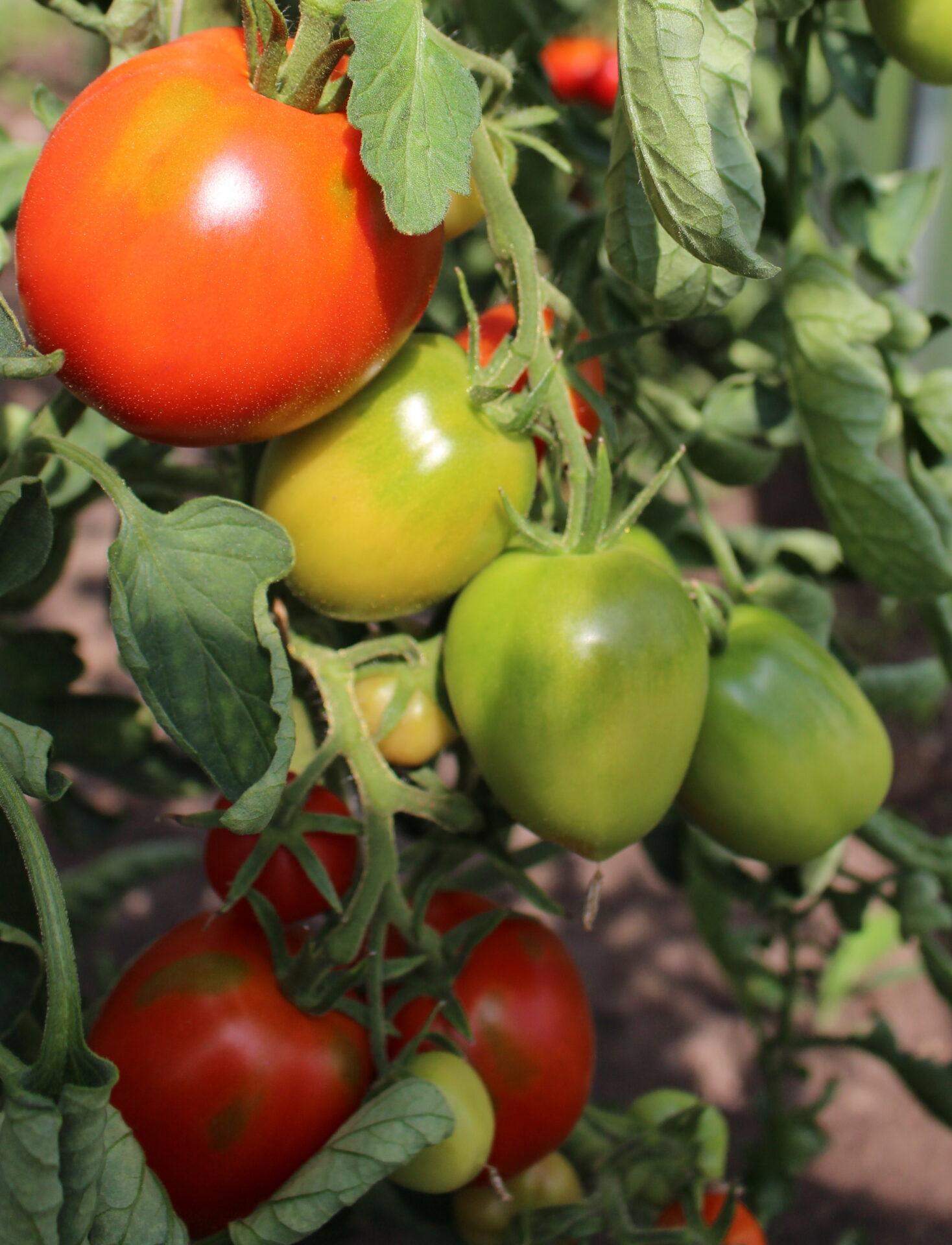 Piibe tomat kõrgekasvuline