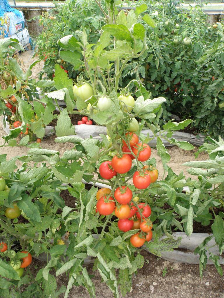 valve poolkõrge tomat