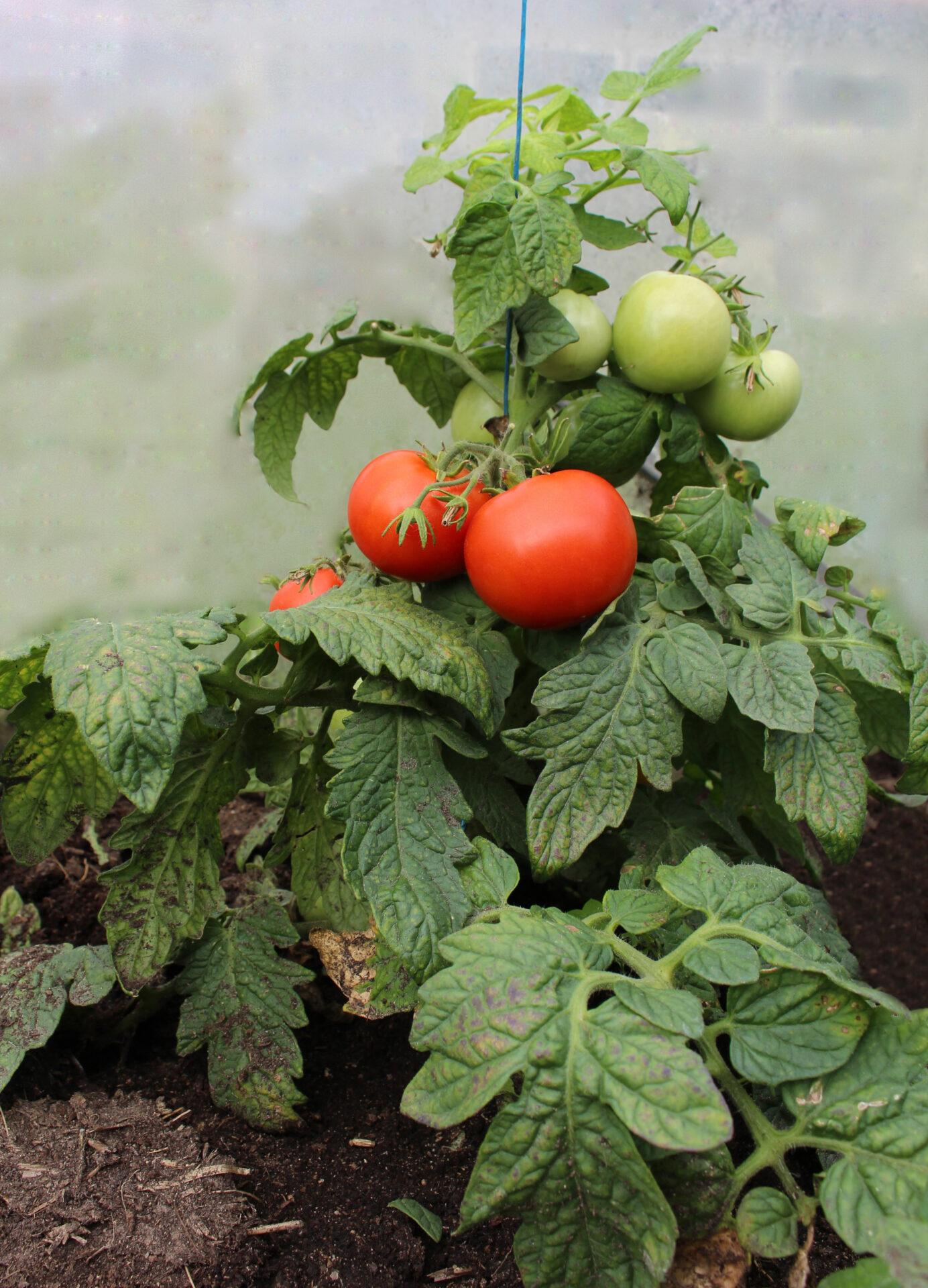 Varto tomat poolkõrge