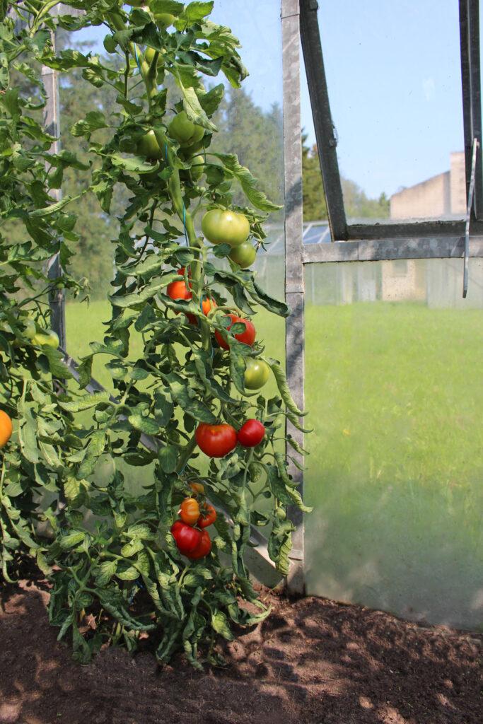 Vilja tomat kõrgekasvuline