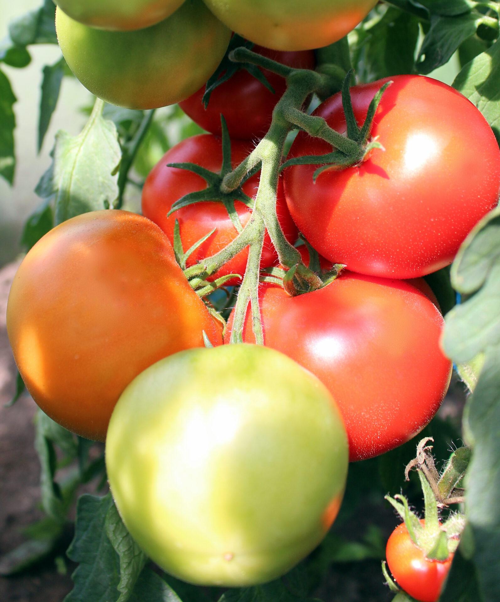Visa tomat kõrge