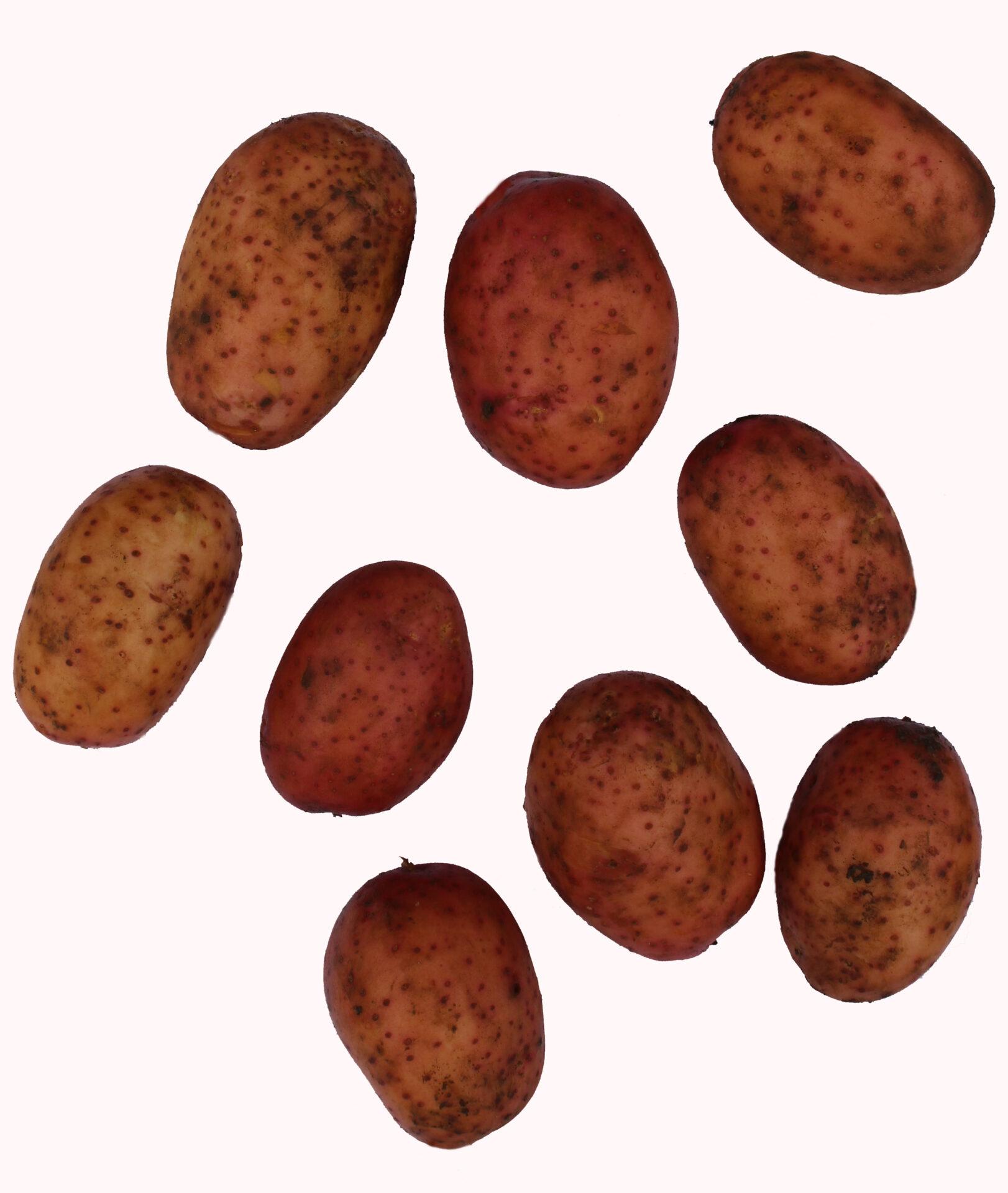 birgit kartul kartulisort