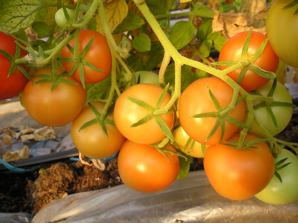 maike tomat madal