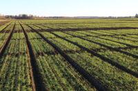 katsepõld nisu